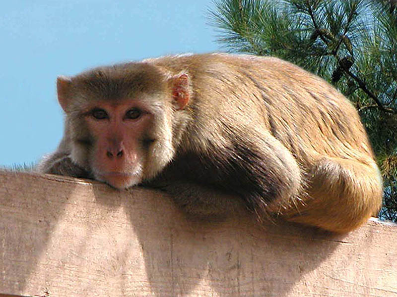 Rhesus macaque sits on post.